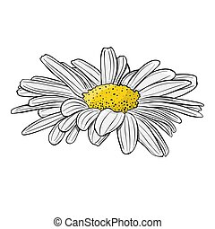 Chamomile flower. Isolated on white background. Hand drawn vector illustration.