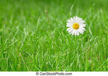 Chamomile flower on grass field