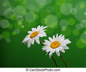 chamomile flower on green