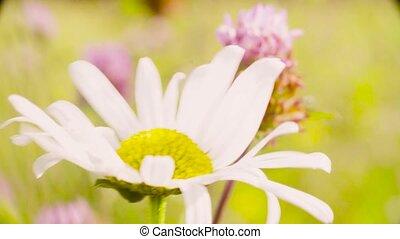 Chamomile flower on the meadow. - Crane shot, macro shooting...