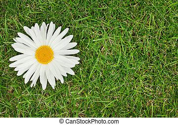 Chamomile flower over green grass