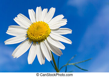 Chamomile flower with blue sky in background