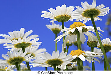 Chamomile flowers against the blue sky.