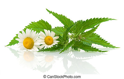 chamomile flowers and nettle leaves on a white background -...