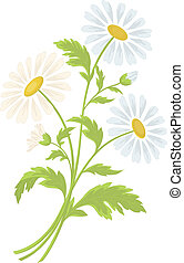 Chamomile flowers - Bouquet of daisies flowers isolated on a...
