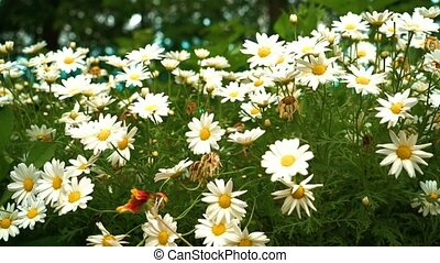 Chamomile flowers close up. Nature of summer. Slow motion