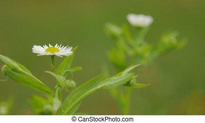 Chamomile flowers close up.