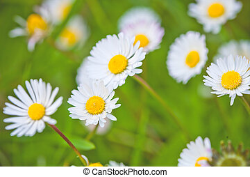 Chamomile flowers field background.