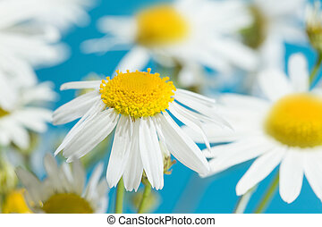 Chamomile flowers field.