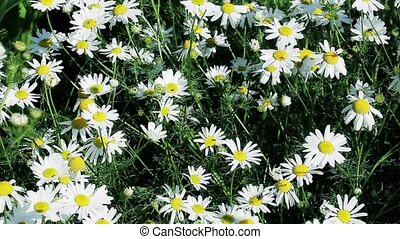 Chamomile flowers field