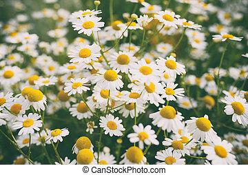 Chamomile flowers in garden. Retro effect