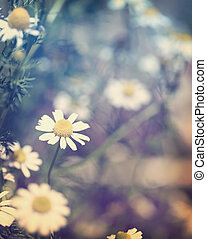 Chamomile Flowers in the Garden - Chamomile flowers in the...