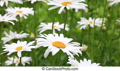 Chamomile flowers in the garden - Chamomile beautiful...