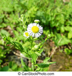 Chamomile flowers in the green grass. White daisies on sunny meadow, spring season background