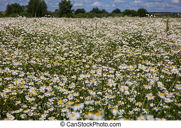 Chamomile flowers on a meadow in summer