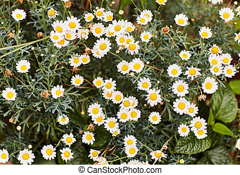 Chamomile flowers on a