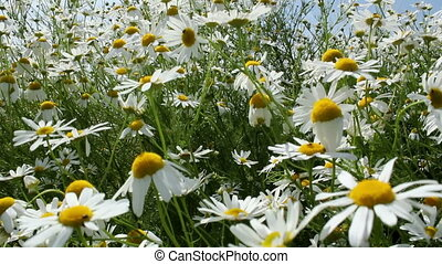 Chamomile flowers on a sunny summer day.