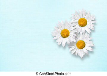 Chamomile flowers on blue wooden background