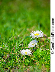 Chamomile flowers on grass field on summer day