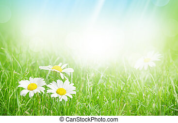 Chamomile flowers on grass field