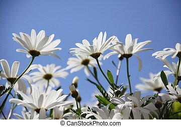 chamomile, flowers