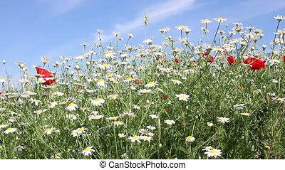 chamomile flowers spring season
