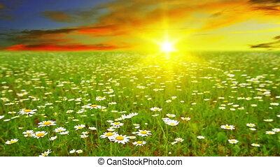 chamomile flowers. sunset.