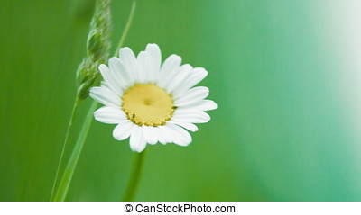 Chamomile flowers sway in the wind. White flowers on a green meadow
