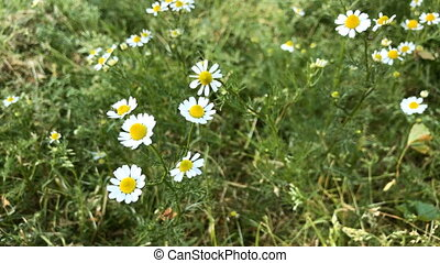 Chamomile flowers - Close-up of chamomile flowers in the...