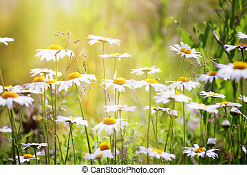 Chamomile flowers with shallow depth of field