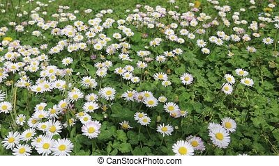 Chamomile green white field