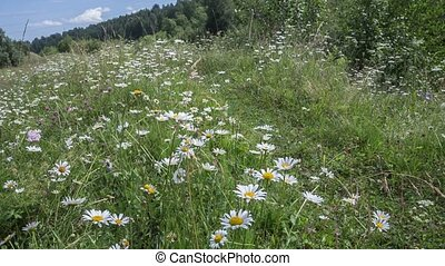 Chamomile  in a meadow