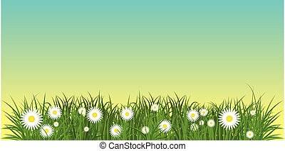 chamomile in grass