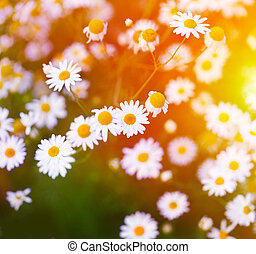 Chamomile in green grass. Soft focus.
