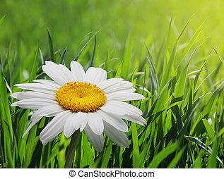 chamomile in green grass