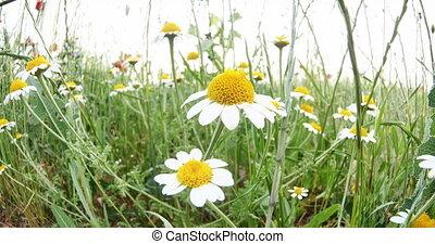 chamomile in meadow 4k
