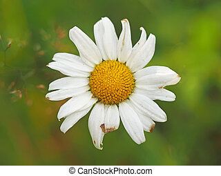 Chamomile in the forest