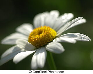 Chamomile in the garden with dew drops.