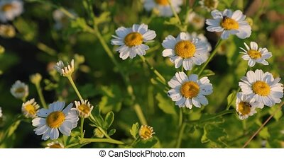 chamomile in the yard in the summer.