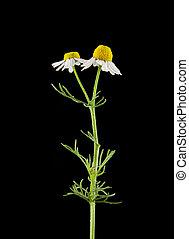 chamomile isolated on black background
