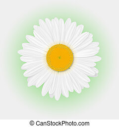 Chamomile - Isolated realistic daisy (chamomile) flower on a...
