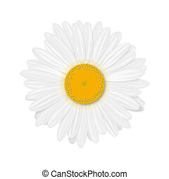 Isolated realistic daisy (chamomile) flower on a white background. Vector illustration