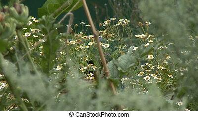 chamomile, kwiaty, dziki