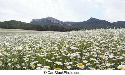 Chamomile meadow - Beautiful chamomile meadow located near...