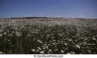 chamomile meadow swaying in the wind