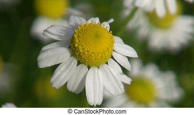 Chamomile medical Daisy blossom