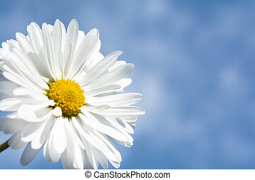chamomile on a background of clouds