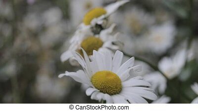 chamomile on a meadow in cloudy weather