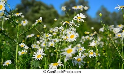 Chamomile on meadow on sunny day - Chamomile on a meadow on...