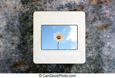 chamomile on slide film